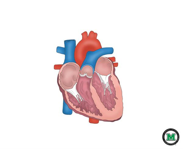 Heart anatomy diagram no labels search for wiring diagrams exelent human heart diagram without labels image collection rh stockmarketresources info heart anatomy diagram label print ccuart Image collections
